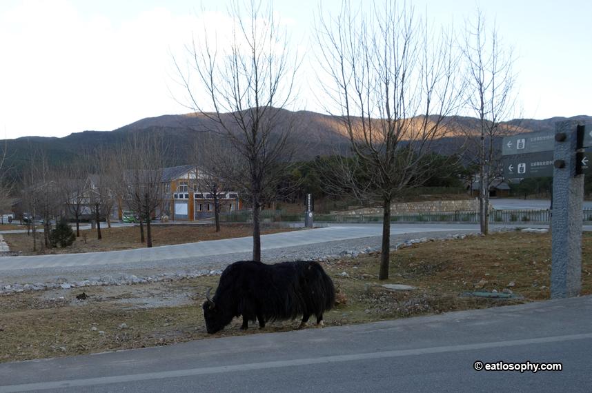 cattle blue moon valley lijiang